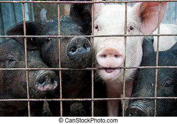Pigs behind a fence at a farm