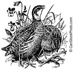 caille, oiseaux, commun