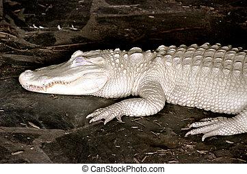 caimán, albino