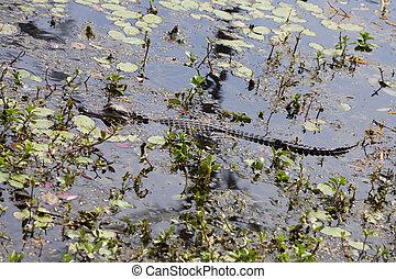 caimán norteamericano