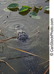 caimán, sólo, debajo, agua