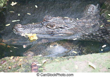 Caiman crocodile in water  - Caiman crocodile in water