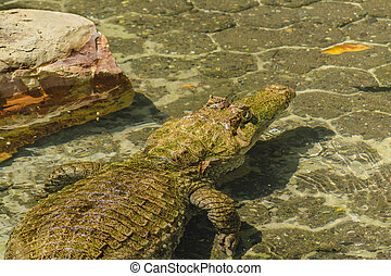 Caiman, Guayaquil, Ecuador - High angle shot of caiman at...