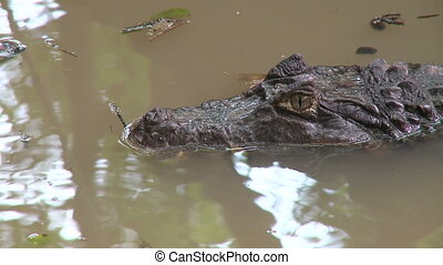 Caiman quietly waiting (2 of 3) - An alligator lies...