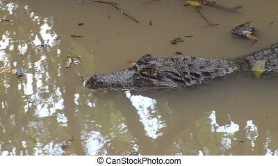 Caiman quietly waiting (3 of 3) - An alligator lies...