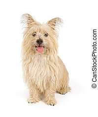 Cairn Terrier Dog Isolated on White - Cairn Terrier dog...