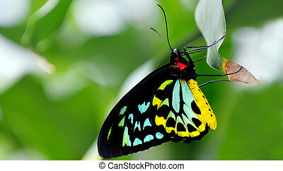 Cairns Birdwing butterfly profile side view