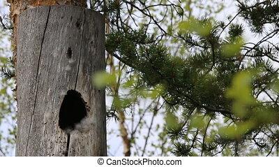 caja, esto, nido, goldeneye, hive), vivo, pato, (log