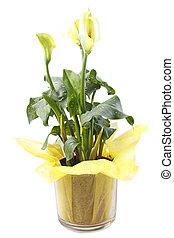 cala, flor, lírio, amarela