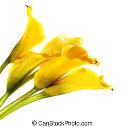 cala, lírios, amarela, grupo