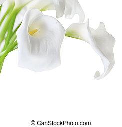 cala, weißes, lilien