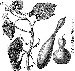 Calabash or Lagenaria vulgaris or Lagenaria siceraria or Bottle gourd or Opo squash or Long melon, vintage engraving. Old engraved illustration of Calabash, isolated on a white background.