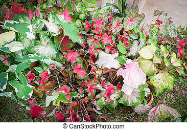 Caladium bicolor colorful leaf araceae in pot in the garden