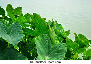 Caladium bicolor is Queen of the Leafy Plants