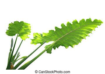 Caladium Leaf - Xanthosoma caladium plant isolated on white