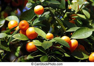 calamondin, apelsiner, citronträd