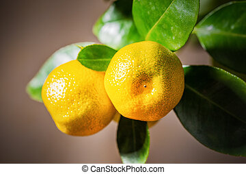 Calamondin fruits, cmall citrus.