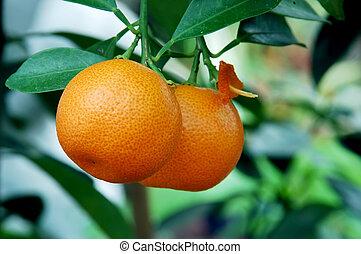 calamondin, orangen, zitrusgewächs