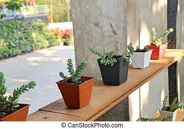 Calandiva or cactus for decoration