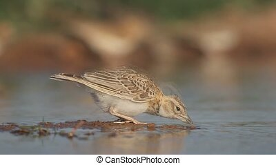 Calandra lark, Melanocorypha calandra, Single bird by water,...