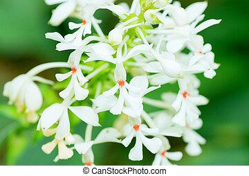Calanthe triplicata, Orchidaceae, Japan, tropical Asia