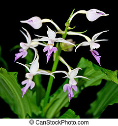 Calathe reflexa - Purple ground orchid, Calanthe reflexa,...