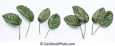 calathea, blanco, hojas, ornata