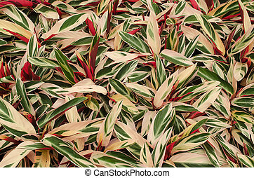 Calathea leaves background