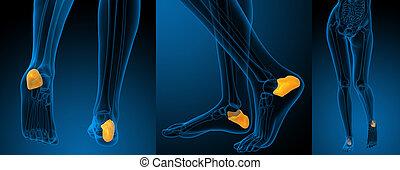 calcaneus, illustrazione, interpretazione, osso umano, 3d