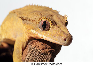 Caledonian crested gecko on white background - Closeup of a ...