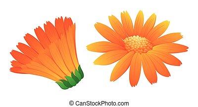 calendula, オレンジ色の色