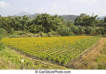 calendula, 分野のmarigold