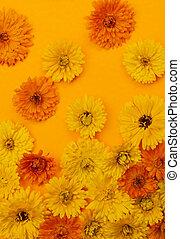 calendula, 花, 上に, オレンジ背景