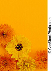 calendula, 花, 背景