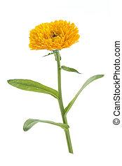 calendula, 花, 葉, 白, 隔離された