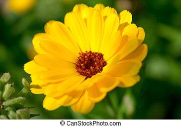calendula, 黄色の花
