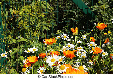 Calendula and camomile flowers in garden.