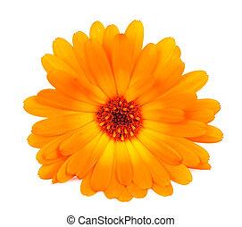 calendula, bloem