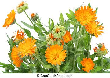 calendula, buisson, fleurs
