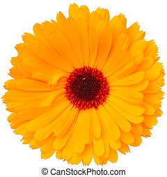 calendula, fleur blanche, isolé, fond
