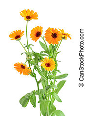 calendula, fleurs, buissons, fond, isolé, orange, blanc
