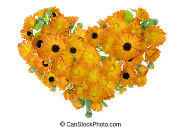 calendula, fleurs, herat, isolé