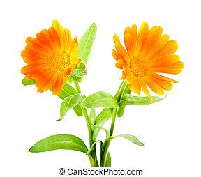 calendula, fleurs