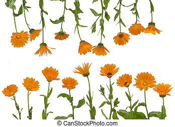 calendula, fleurs, isolé