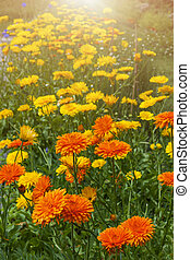 calendula, fleurs, jardin