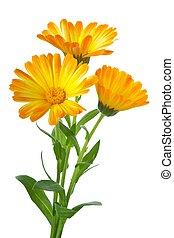 calendula, fleurs, trois
