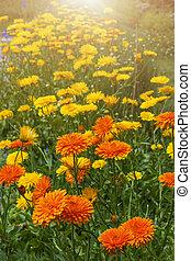calendula, flores, en, jardín