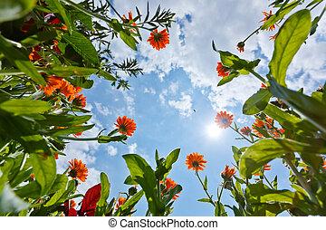 calendula, flores, y, cielo