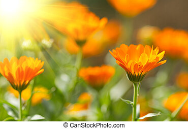Calendula flower  - Flower of beautiful calendula