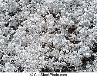 calendula, flowerbed., fotografia, infravermelho